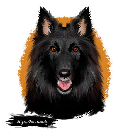 Groenendael shepherd, Belgian Sheepdog, Belgian Groenendael dog digital art illustration isolated on white background. Belgian origin herding dog. Cute pet hand drawn portrait. Graphic clipart design