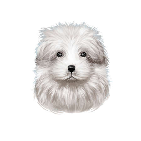 Bolognese dog, Bichon Bolognese, Bolognese Toy Dog, Bolo digital art illustration isolated on white background. Italian origin toy companion dog. Cute pet hand drawn portrait. Graphic clip art design. Imagens - 130840699