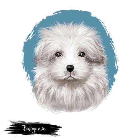 Bolognese dog, Bichon Bolognese, Bolognese Toy Dog, Bolo digital art illustration isolated on white background. Italian origin toy companion dog. Cute pet hand drawn portrait. Graphic clip art design.