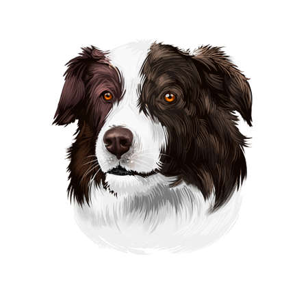 Border Collie, Scottish Sheepdog dog digital art illustration isolated on white background. United Kingdom origin herding dog. Cute pet hand drawn portrait. Graphic clip art design for web, print.