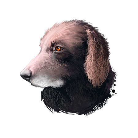 Curly-Coated Retriever, Curly, CCR dog digital art illustration isolated on white background. English origin tall waterfowl hunting dog, gun dog. Cute pet hand drawn portrait. Graphic clip art design Фото со стока
