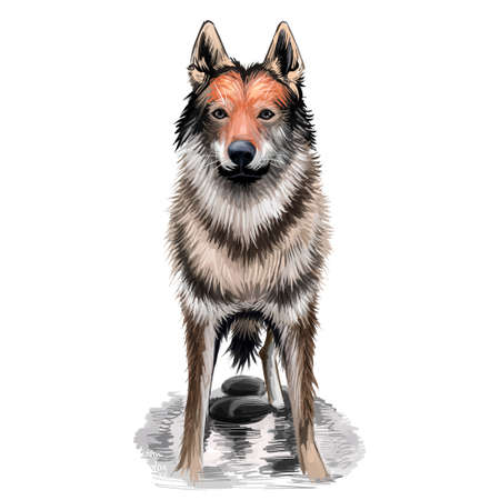 Czechoslovakian Wolfdog, Czechoslovakian Vlcak dog digital art illustration isolated on white background. Slovak Republic origin herding dog. Cute pet hand drawn portrait. Graphic clip art design Stock Photo
