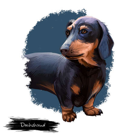 Dachshund, Weenie Dog, Teckel, badger dog digital art illustration isolated on white background. German origin scenthound dog. Cute pet hand drawn portrait. Graphic clip art design for web, print