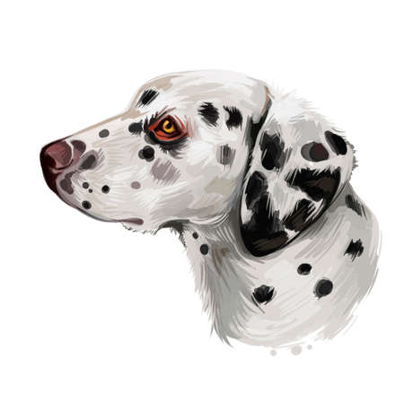 Dalmatian, Carriage Dog, Spotted Coach Dog, Firehouse Dog digital art illustration isolated on white background. Croatian origin companion dog. Cute pet hand drawn portrait. Graphic clip art design.