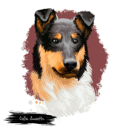 Smooth Collie dog digital art illustration isolated on white background. Scotland origin tricolor working, herding dog. Cute pet hand drawn portrait. Hand drawn graphic clip art design for web, print Stock Photo
