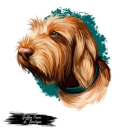 Griffon Fauve de Bretagne, Fawn Brittany Griffon dog digital art illustration isolated on white background. France origin scenthound dog. Pet hand drawn portrait. Graphic clip art design for web print