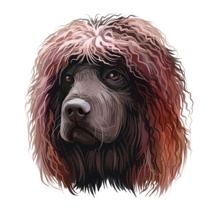 Irish Water Spaniel, Whiptail, Shannon Spaniel, Rat Tail Spaniel, Bog Dogdog dog digital art illustration isolated on white background. Irish origin gun dog. Pet hand drawn portrait. Graphic clip art Stock Photo