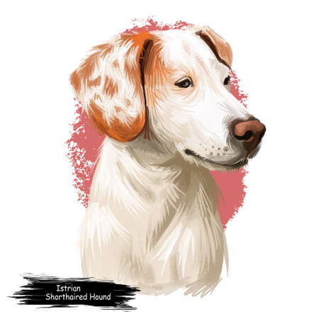 Istrian Short-haired Hound, Istarski Kratkodlaki Gonic dog digital art illustration isolated on white background. Croatia origin scenthound dog. Pet hand drawn portrait. Graphic clip art for web print Stock fotó