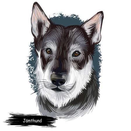 Jamthund, Swedish Elkhound, Swedish Moosehound dog digital art illustration isolated on white background. Sweden origin northern breed dog. Pet hand drawn portrait. Graphic clip art for web print