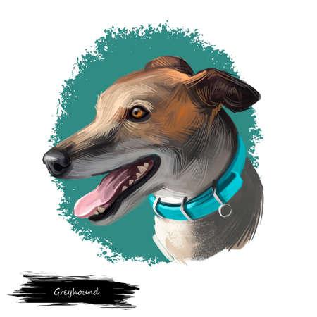 Greyhound, English Greyhound dog digital art illustration isolated on white background. European origin racing, hunting dog. Pet hand drawn portrait. Graphic clip art design for web, print Zdjęcie Seryjne