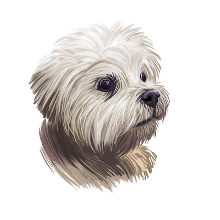 Lowchen little lion dog, petit chien toy breed digital art illustration. French canine, pet originated in France with long and wavy coat. Portrait closeup of mammal animal, puppy with white fur