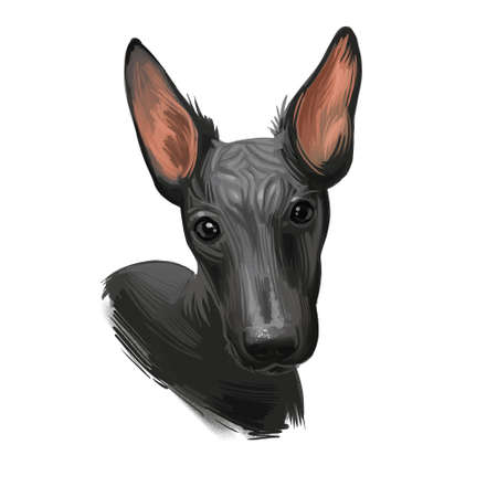 Peruvian Hairless dog portrait isolated. Digital for web, t-shirt print and puppy food cover design, clipart. Perro Sin Pelo de Peru, Inca Dog, Viringo, Peruvian Inca Orchid, Calato, Dielmatian Фото со стока