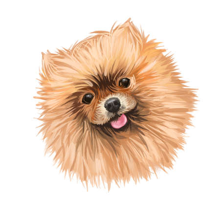 Pomeranian dog portrait isolated on white. Digital art illustration of hand drawn dog for web, t-shirt print and puppy food cover design. Breed of dog of the Spitz . Pom toy, small size dog
