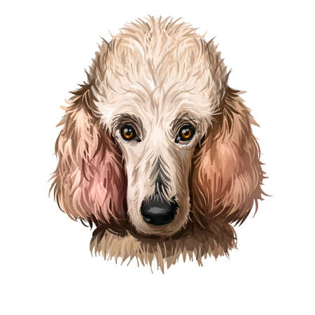 Poodle dog portrait isolated on white. Digital art illustration of hand drawn dog for web, t-shirt print and puppy food cover design. Dog breeds, Standard, Miniature and Toy Poodle, pet shop Stock fotó