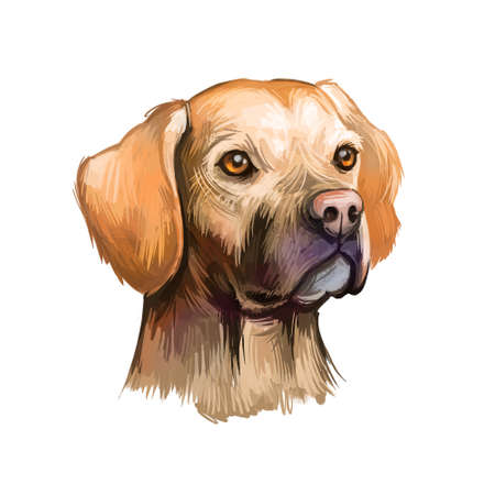 Portuguese Pointer dog portrait isolated on white. Digital art illustration of dog for web, t-shirt print, puppy food cover design. Perdigueiro Portugues breed, gun dog, red-legged partridge hunting Stock Illustration - 130994853