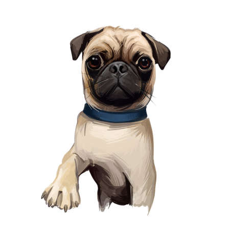 Pug dog portrait isolated on white. Digital art illustration of hand drawn dog for web, t-shirt print and puppy food cover design. Breed with wrinkly, short-muzzled face, and curled tail in collar