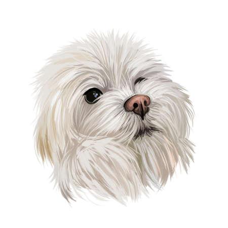 Maltese canis familiaris maelitacus, toy dog digital art illustration. Small pet originated in Italy, Italian breed. Purebred puppy with white fur domesticated animal mammal profile portrait closeup