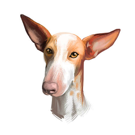 Podenco Canario dog portrait isolated on white. Digital art illustration of hand drawn for web, t-shirt print and puppy food cover design, clipart. Canary Islands Warren Hound, Canarian Warren Hound Stock Photo