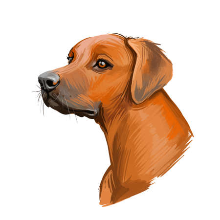 Rhodesian Ridgeback dog portrait isolated on white. Digital art illustration of hand drawn dog for web, t-shirt print and puppy food cover design. African Lion Hound, Van Rooyen lion dog
