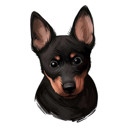 Portrait of lancashire heeler pet digital art illustration. Closeup of pet mammal animal with small muzzle and long ears. Drover and herder of cattle Uk England originated canine drawing on orange