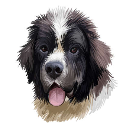 Landseer pet portrait of pet animal digital art illustration. Canis originated in Canada Newfoundland. Mammal puppy closeup of Canadian canine isolated on white background, cute puppy with tongue Banque d'images - 130996513