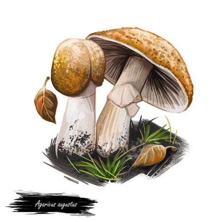 Agaricus augustus the prince, basidiomycete fungus of the genus Agaricus. Edible fungus isolated on white. Digital art illustration, natural food, package label. Autumn harvest fungi on green grass
