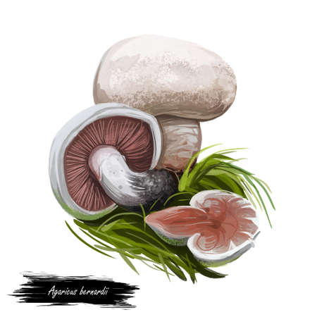 Agaricus bernardii salt-loving mushroom, agaric fungus in family Agaricaceae. Edible fungus isolated on white. Digital art illustration, natural food, package label. Autumn harvest fungi on grass