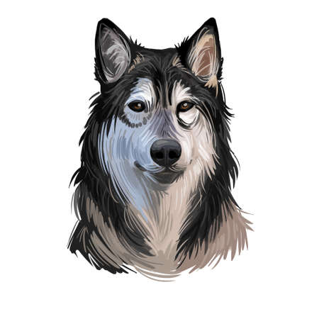 Tamaskan Dog bred resemble wolf or wolfdog, sled dogs Siberian Husky, Alaskan Malamute. Digital art. Animal watercolor portrait closeup isolated muzzle of pet, canine hand drawn clipart, animalistic Stock Photo