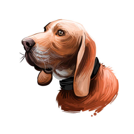 Sabueso Espanol dog portrait isolated on white. Digital art illustration of hand drawn dog for web, t-shirt print and puppy food cover design. Spanish Scenthound exclusive working hunting breed