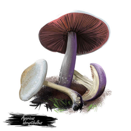 Agaricus abruptibulbus abruptly-bulbous agaricus or flat-bulb mushroom edible fungus isolated on white. Digital art illustration, natural food, package label. Autumn harvest fungi on grass