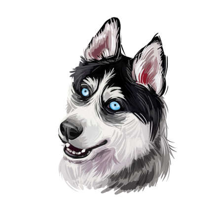 Siberian Husky dog hound with clear eyes digital art. Animal watercolor portrait closeup isolated muzzle of pet, canine hand drawn clipart, animalistic drawing. Doggy from Siberia purebred mammal.
