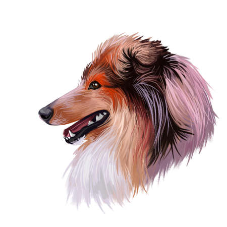 Scotch collie pet with long fur, furry domestic animal sticking out tongue pet hand drawn portrait.
