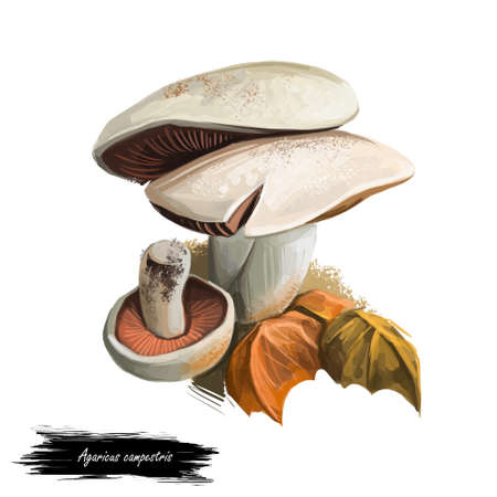 Agaricus campestris widely eaten gilled button mushroom Agaricus bisporus. Field or meadow mushroom. Edible fungus isolated on white. Digital art illustration, natural food. Autumn harvest fungi