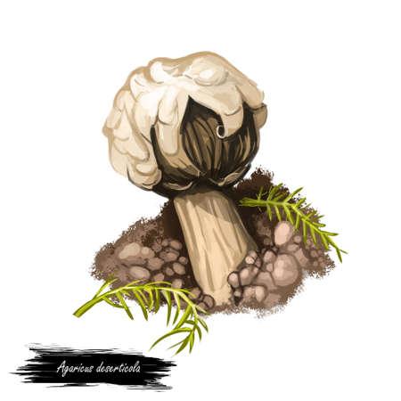 Agaricus deserticola gasteroid agaricus, species of fungus in family Agaricaceae. Mushroom edible fungus isolated on white. Digital art illustration, natural food, package label. Autumn harvest fungi