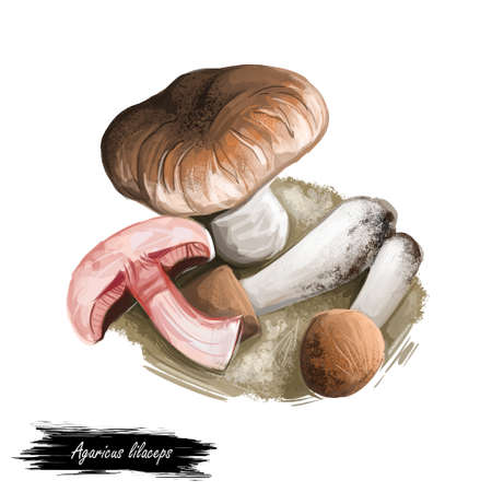 Agaricus lilaceps cypress Agaricus or the giant cypress agaricus species of mushroom. Edible fungus isolated on white. Digital art illustration, natural food, package label. Autumn harvest fungi