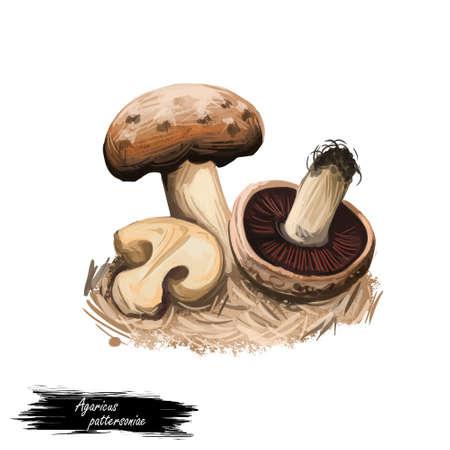 Agaricus pattersoniae edible species of mushroom. Flat-bulb mushroom edible fungus isolated on white. Digital art illustration, natural food, package label. Autumn harvest fungi on ground