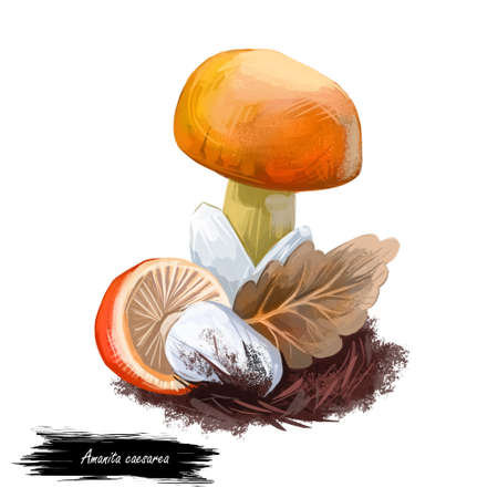 Amanita caesarea Caesars mushroom, edible mushroom in genus Amanita. Flat-bulb mushroom edible fungus isolated on white. Digital art illustration, natural food, package label. Autumn harvest fungi