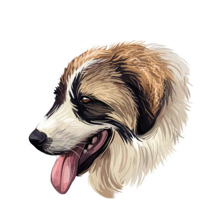 Tornjak or Croatian Shepherd dog breed portrait isolated on white. Digital art illustration, animal watercolor drawing of hand drawn doggy for web. Part colored pet, brown and white, and long coated.
