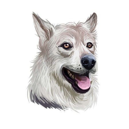 West Siberian Laika dog breed portrait isolated on white. Digital art illustration, animal watercolor drawing of hand drawn doggy for web. Domastic pet with pointed muzzle and gray like wolf coat.