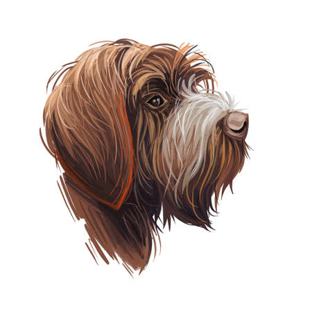 Wirehaired Pointing or Korthals Griffon dog breed portrait isolated on white. Digital art illustration, animal watercolor drawing of hand drawn doggy for web. Pet coat has chestnut brown color.