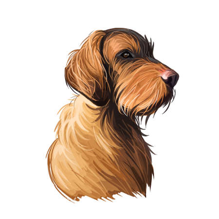 Wirehaired Vizsla dog breed portrait isolated on white. Digital art illustration, animal watercolor drawing of hand drawn doggy for web. Domestic pet wire coated. Coat russet to golden sand in color.