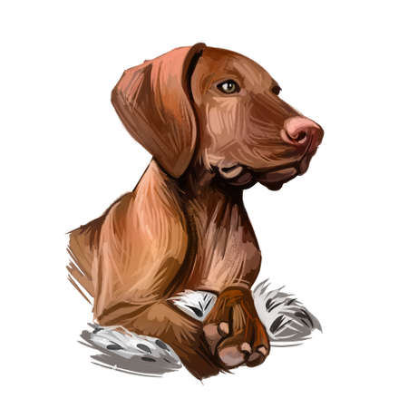 Vizsla dog breed portrait isolated on white. Digital art illustration, animal watercolor drawing of hand drawn doggy for web. Medium sized pet has solid golden rust color of coat and strict look.
