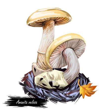 Amanita velosa mushroom closeup digital art illustration. Clipart vegetable growing from ground in autumn season, fungus with leaf, edible veggie with fat cap.