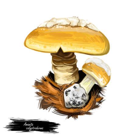 Amanita calyptroderma mushroom, known as coccora coccoli digital art illustration. Hand drawn clipart of edible ingredient, food seasonal vegetable veggie, autumn season fall fungus with cap.