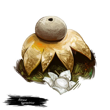 Astraeus hygrometricus mushroom digital art illustration, Clipart hygroscopic earthstar barometer false vegetable of rounded shape closeup. Fungus ingredient with huge cap and no leg or steam.