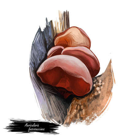 Auricularia fuscosuccinea mushroom closeup digital art illustration. Vegetable growing on wood in forests, fungus edible veggies ingredient clipart.