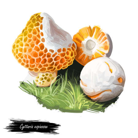 Cyttaria espinosae Digguene Lihuene or Quidene, orange-white colored edible ascomycete fungus native to Chile. Edible fungus isolated on white. Digital art illustration, natural food autumn harvest