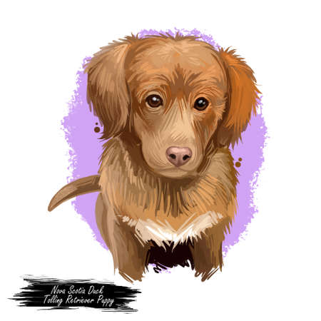 Nova Scotia duck tolling retriever puppy Canadian pet digital art. Gundog from Canada watercolor portrait of muzzle closeup. Hunting pet of toller type, canis lupus small doggy with medium-length coat Imagens