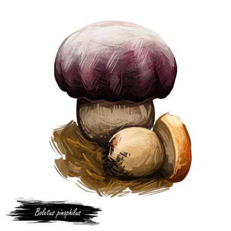 Boletus pinophilus mushroom, digital art illustration. Pine pinewood king bolete vegetable with big tight cap on top, fungus growing in woods. Forest vegetable edible meal food ingredient closeup. Banco de Imagens