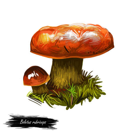 Boletus rubriceps, bolete family Boletaceae digital art illustration. Natural plant vegetable with colored reddish cap closeup clipart. Hand drawn food ingredient, ecosystem mushroom with grass. Stock Photo